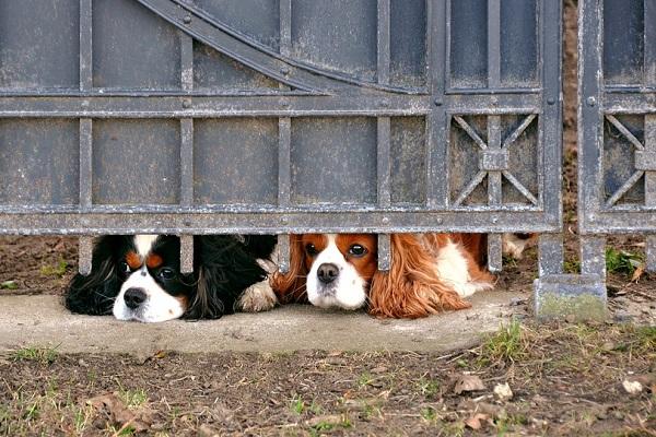 cani che guardano da sotto il cancello