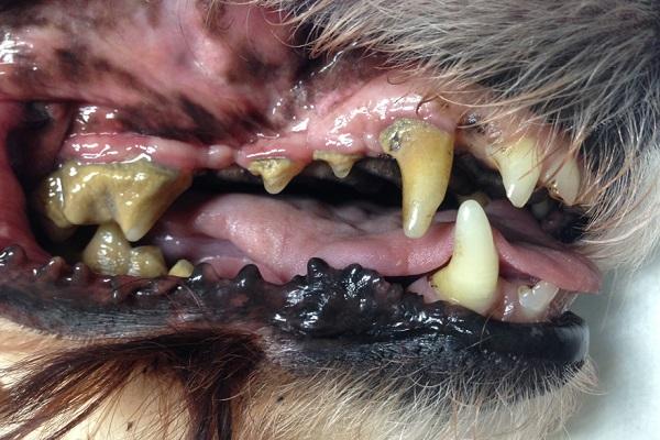 bocca del cane profilo