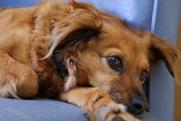 cane giù di tono