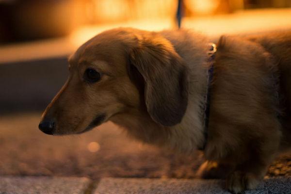 cane di sera