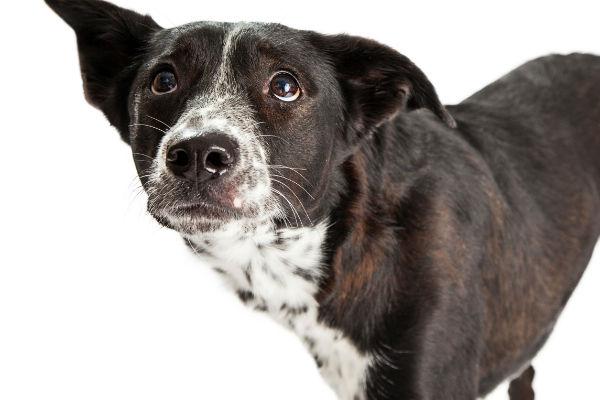 cane che osserva