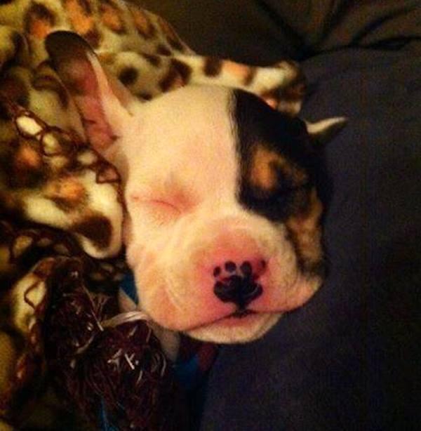 cane-lahela-dorme