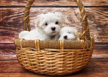 cani dentro cesta