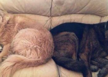 cane-ricorda-fratello-abbracciando-il-suo-cuscino