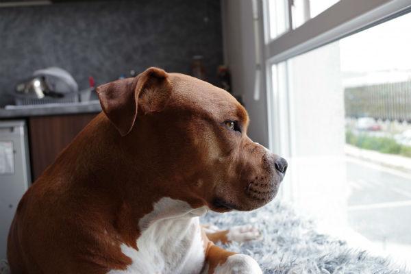 cane che guarda dalla finestra