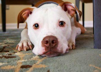 cane con naso marrone
