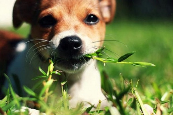 cane mangia filo d'erba