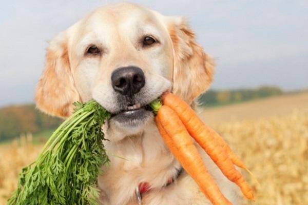 cane labrador