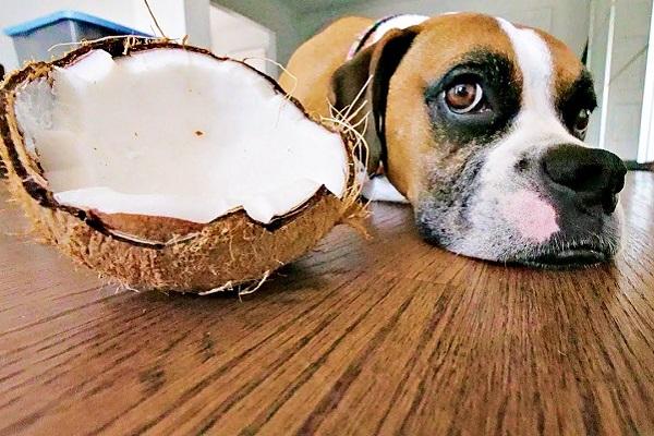 cane boxer con noce di cocco