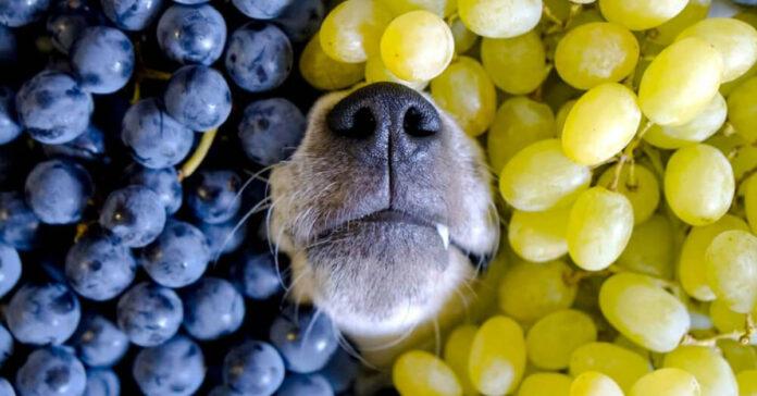 cane sommerso dall'uva