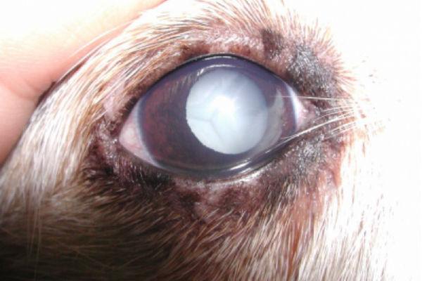 cane con problema all'occhio