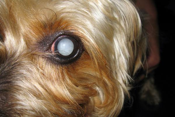 cane con occhio malato