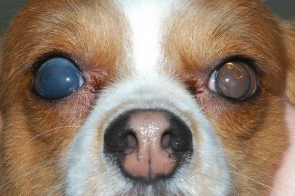cane affetto da cataratta