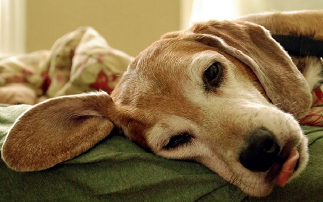 Chemioterapia nel cane: cosa sapere