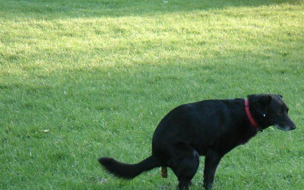 Cosa significa la cacca nera nel cane?