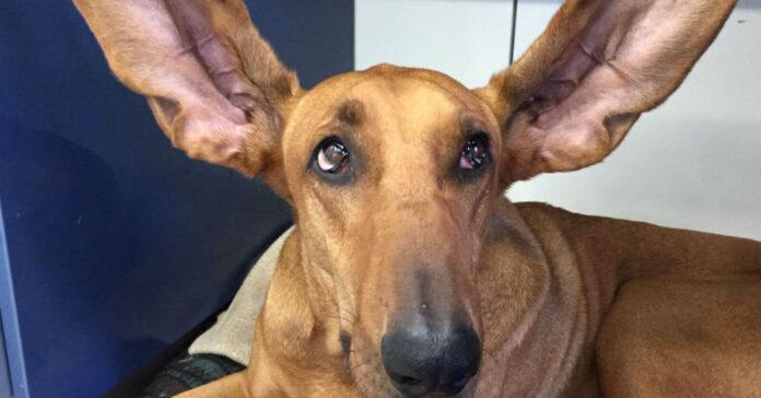 cane con le orecchie tese