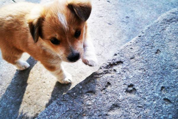 Complicazioni della gravidanza del cane