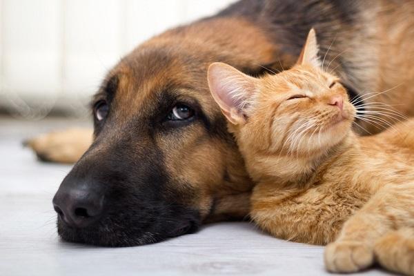 cane pastore tedesco con gatto