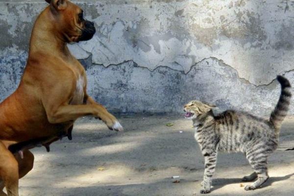 cane boxer litiga con gatto