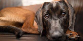 cane marrone e nero