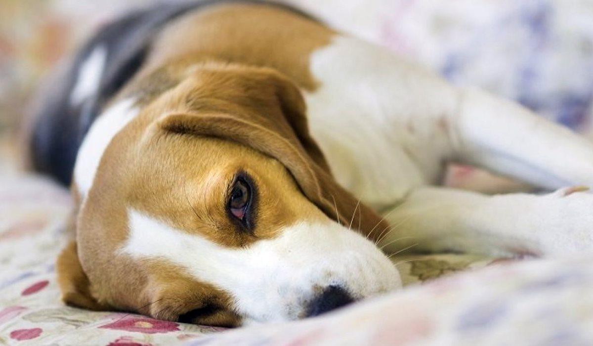cane con le convulsioni
