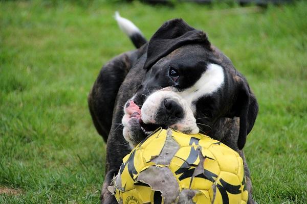 cane morde palla
