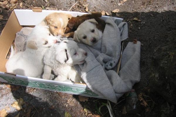 cuccioli di cane in una scatola