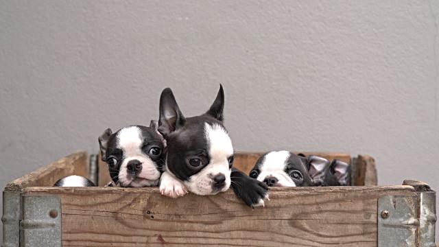 Cuccioli in una scatola di legno