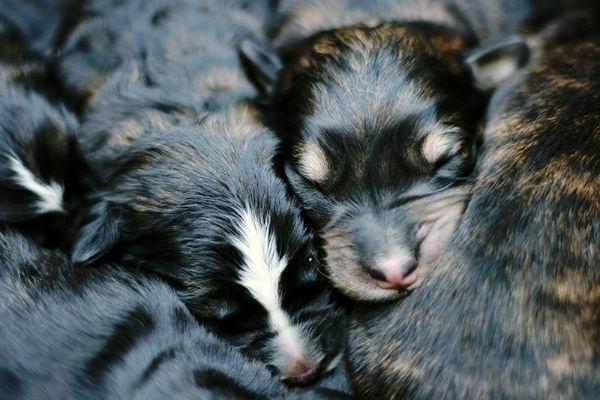 Quando i cuccioli di cane aprono gli occhi?