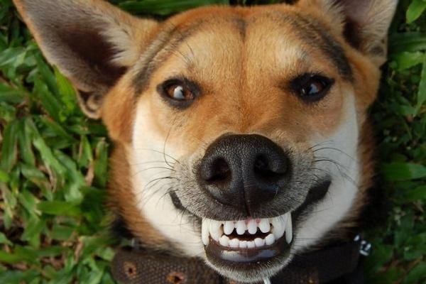 denti del cane