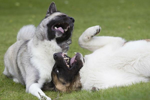 due cani che giocano