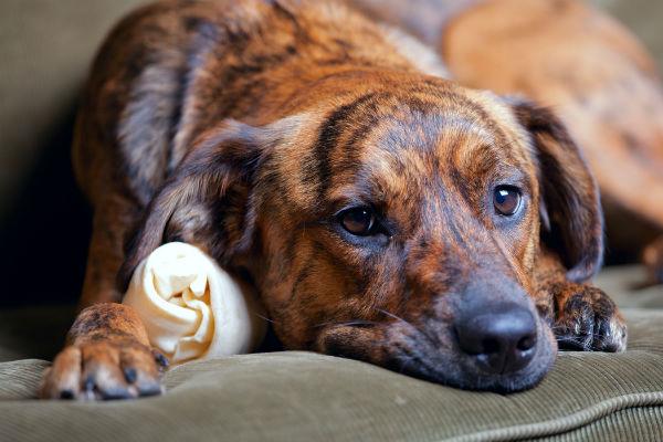 cane maculato