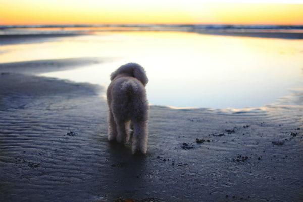 cane che guarda il mare