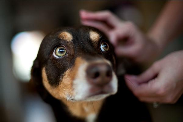 Febbre del cane: cause, sintomi e cura