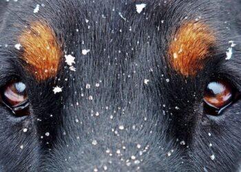 cane con guardo intenso