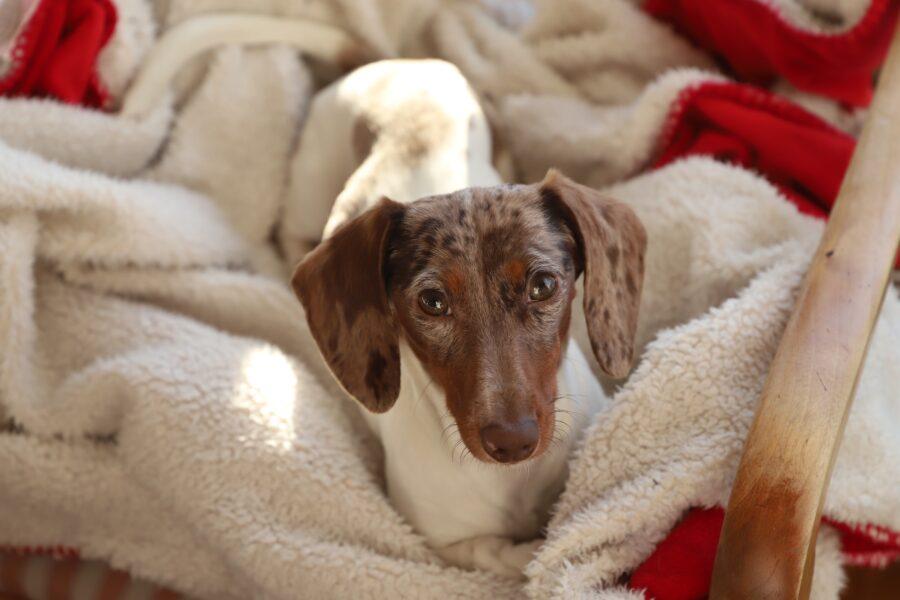 cagnolino tra le coperte