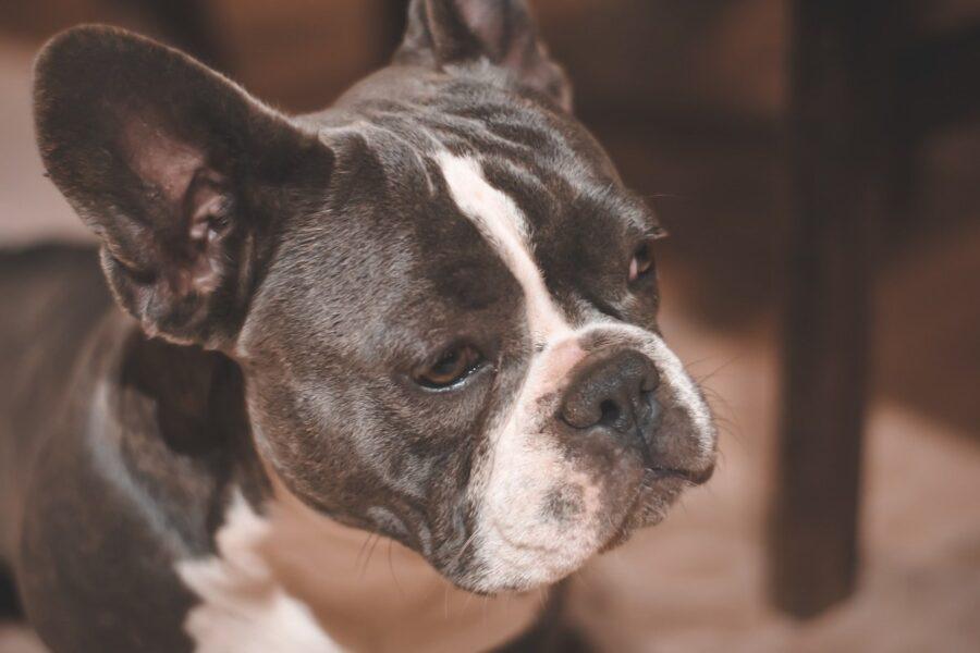 bulldog di due colori
