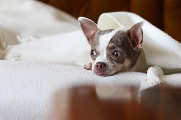 cane al caldo della coperta