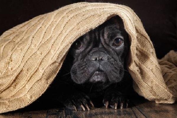 cane timoroso