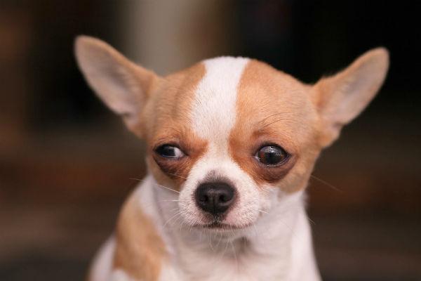 I cani possono essere pessimisti?
