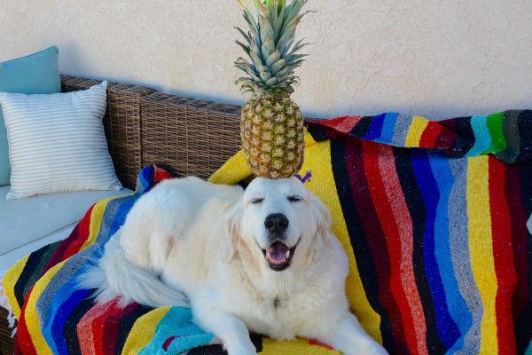 cane con ananas