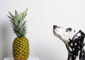 dalmata guarda ananas