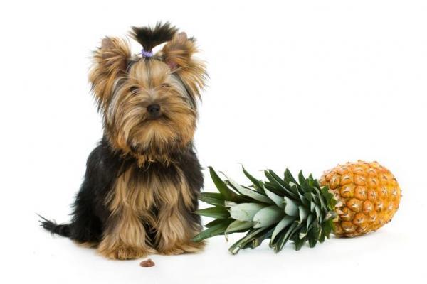 cane piccolo e ananas