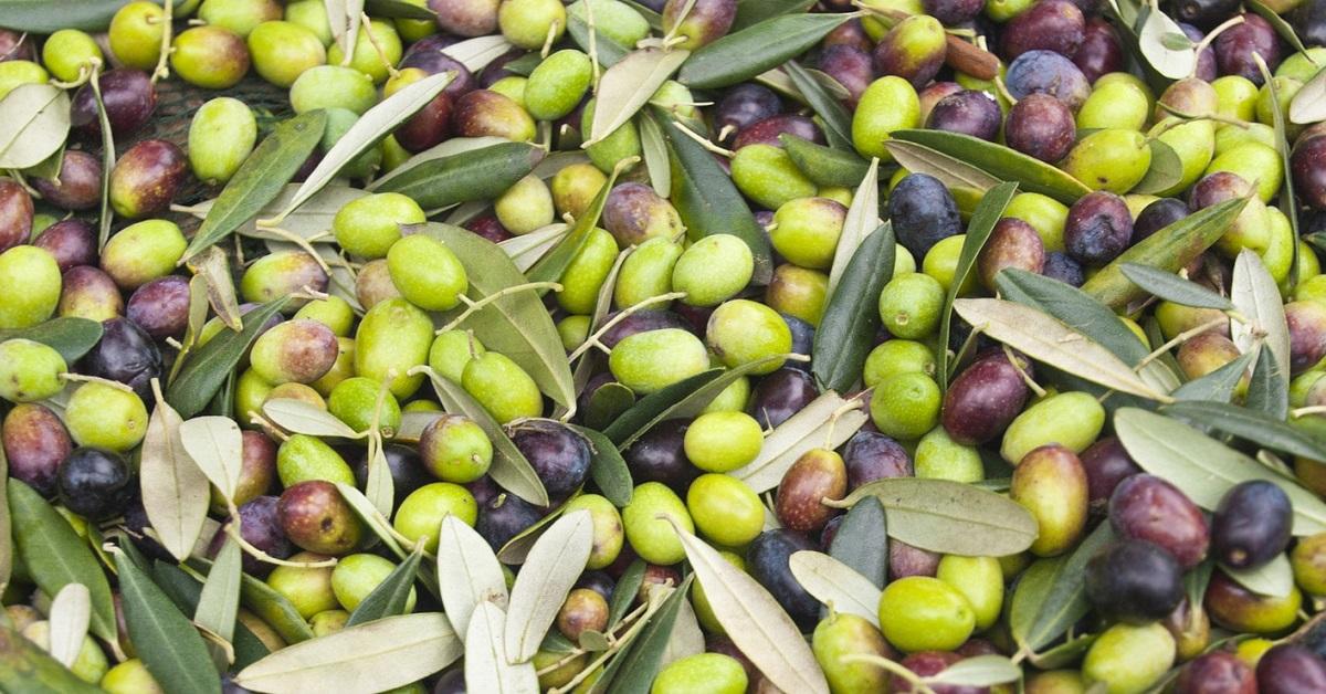 Olivo - ulivo coltivazione e cure