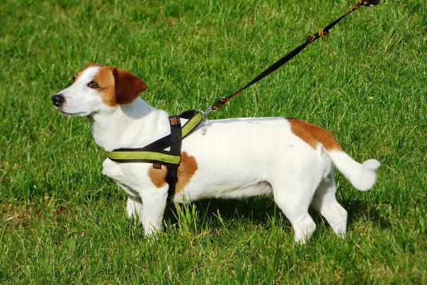 Perché il cane tira al guinzaglio?