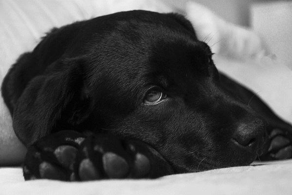 Insufficienza epatica nel cane: cosa sapere
