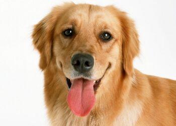 cane con lingua di fuori