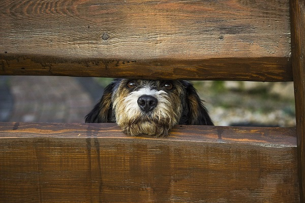 cane che guarda attraverso la staccionata