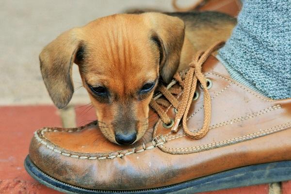 cucciolo di cane annusa scarpa