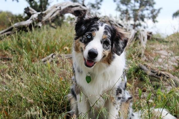 Malattia di Lyme nel cane: tutto sulla borelliosi